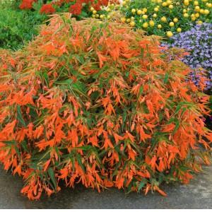 Begonia boliviensis 'Bon Fire'-tessalaer.com