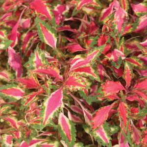 Coleus 'Pink Chaos'-provenwinners.com