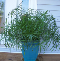 Color echo of container with building walls; Cyperus 'King Tut'; 8/23/06