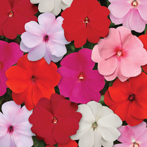 Impatiens New Guinea Divine Series-gardencrossings.com