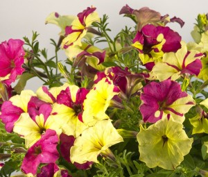 Petunia Crazytunia 'Sparky'-newplantsandflowers.com