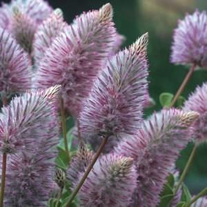 Ptilotus 'Joey'-gardenexpress.com.au
