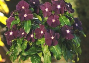 Vinca Cora Cascade 'Blackberry'-swallowtailgardenseeds.com