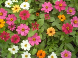 Zinnia 'Profusion Mix'-hidden-gardens.com