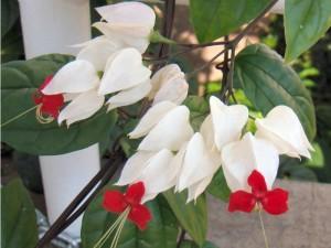 Clerodendrum thomsoniae-gardenvines.com