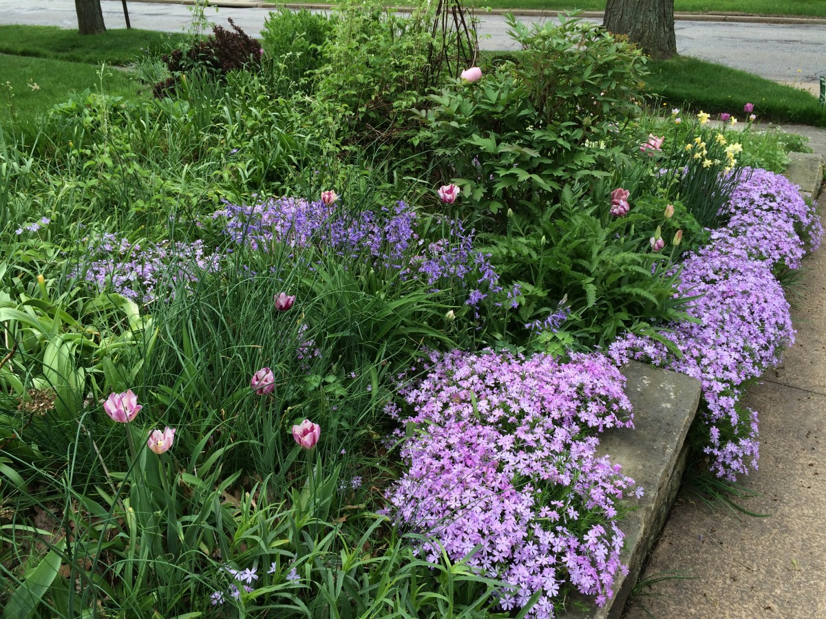 5-11-15-Phlox-subulata-and-bulbs-1