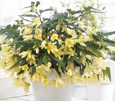 Begonia Beauvilia Yellow-pinterest.com