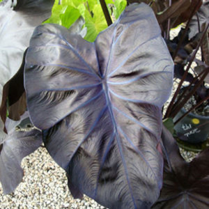 Colocasia 'Black Coral'-gardencrossings.com