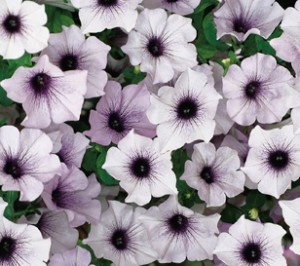 Petunia 'Blue Vein'-brooksidenursery.co.uk