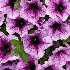 Petunia Supertunia Bordeaux-PW
