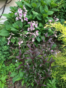 Penstemon 'Pocahontas' (left) and 'Dark Towers' (right) in my garden