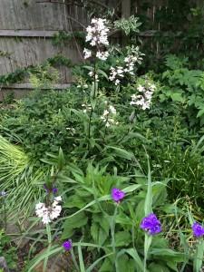 Penstemon tubaeflorus in my garden with Tradescantia