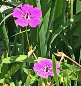 Geranium 'Pink Penny'