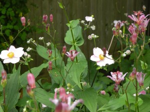 Anemone vitifolia 'Robustissima' and Tricyrtis hirta last fall in my shady bed