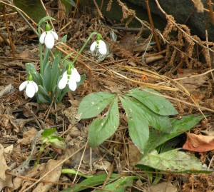 Galanthus with Helleborus