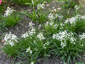 Hyacinthoides hispanica 'Alba' naturalized