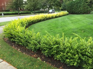 This young Vicary privet hedge looks very appealing now but will need a great deal of pruning in the future.