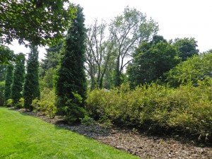 Six foot Spirea hedge interspersed with tall conifers for interest