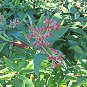 Ceanothus americanus fruit