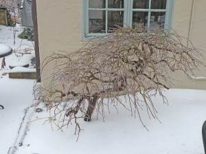 The structure of Acer palmatum 'Viridis' is quite apparent when it is leafless.