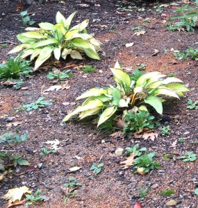 Weeds among Hosta 'Golden Meadow' will be even worse next spring if not dug this fall.