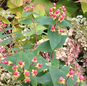 Hypericum Hypearls Renu berries