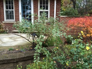 Overgrown rose with long canes that will whip around during the winter if left unpruned.