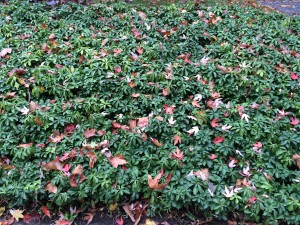 Leaves on groundcover, if sparse, can be left but if leaves obscure the groundcover, they need to be blown or raked out.