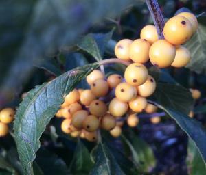 Ilex verticillata 'Chrysocarpa' fruit