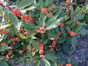 Ilex verticillata 'Winter Gold' fruit