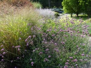 Verbena bonariensis and Panicum 'Rotstrahlbusch' in a Kentucky garden