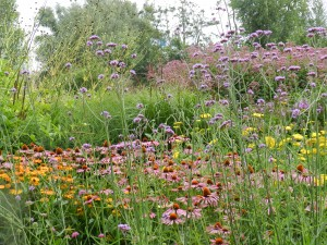 Verbena bonariensis as see-through in Utrecht perennial garden of Helenium, Echinacea, Achillea, Eupatorium, and Sedum