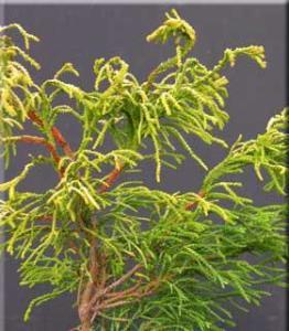 Chamaecyparis obtusa 'GoldenWhorl'-bloomriver.com