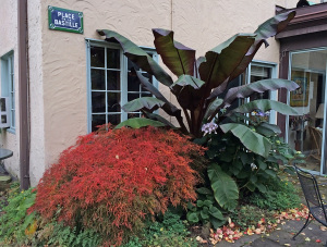 Large leaves of Ensete maurellii as contrast to delicate foliage of Acer palmatum dissectum 'Viridis' in part shade bed