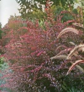 Fine Foliage sun combo of Pennisetum setaceum 'Rubrum', Berberis thunbergii 'Rose Glow', Artemisia schmidtiana 'Silver Mound'