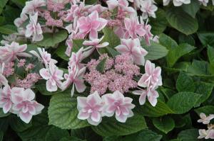 Hydrangea macrophylla  'Stargazer'-erica-enterprises.com