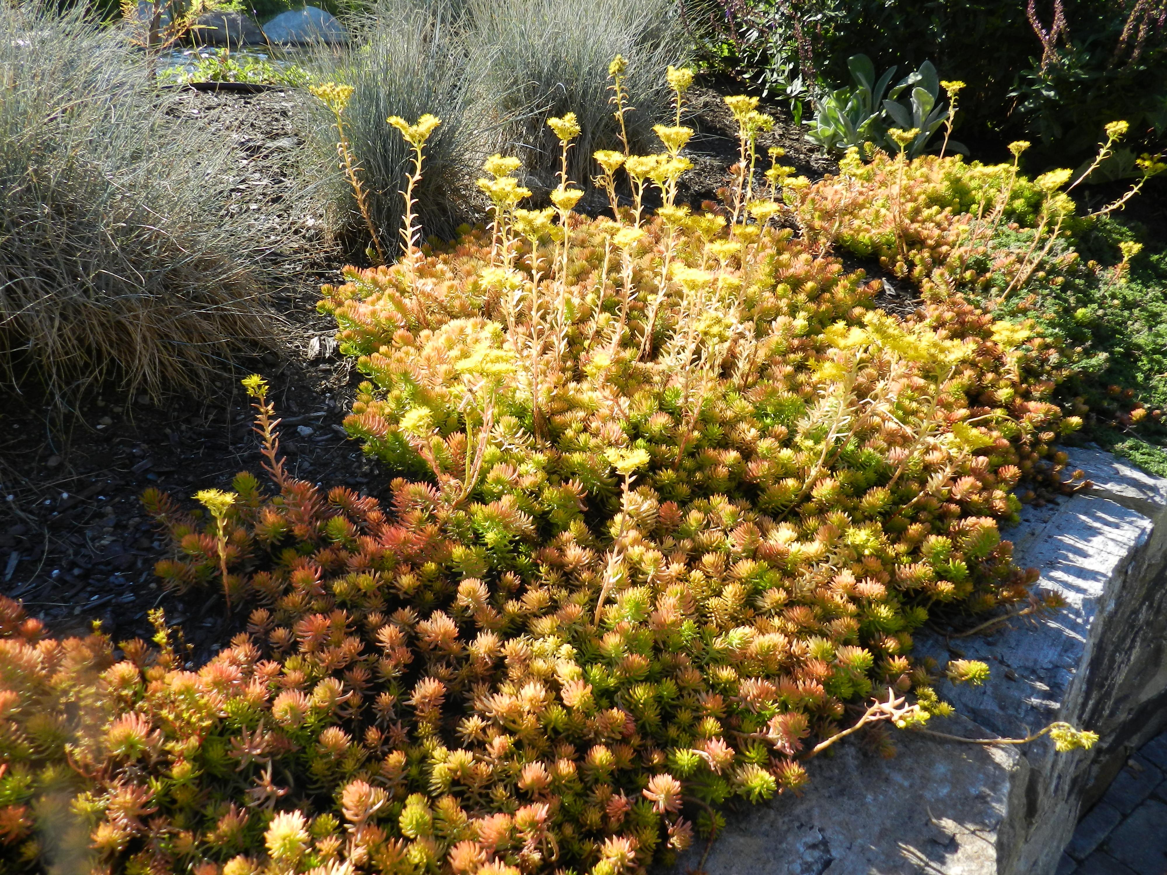 Cleveland Landscape Designer Reviews a book about Sedum   Bobbie\'s ...