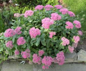 Sedum 'Neon', a short but upright cultivar that never falls over
