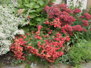 Sedum 'T Rex' with Dendrathema 'Rosy Igloo' and Caryopteris divaricata 'Snow Fairy' in my back garden