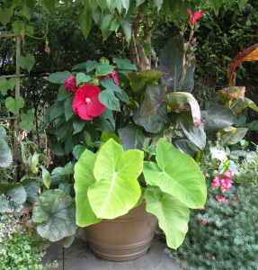 Large chartreuse leaves of Xanthosoma in container with Hibiscus 'Cranberry Crush', Canna
