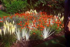 Arctotis 'Flame', Kniphofia 'Little Maid', Caryoptensis clandoensis, Yucca 'Bright Edge'