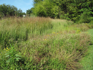 Bioswale at an ornamental grass nursery