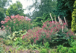 Eupatorium purpureum, Aster 'September Ruby', Cimicifuga racemosa