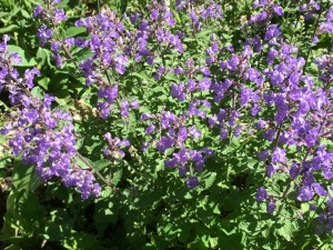 Nepeta 'Purrsian Blue' this past summer