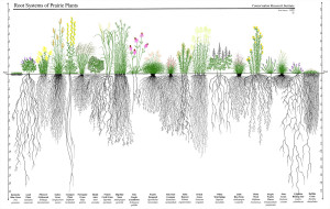 Depth of prairie plant roots-galleryhip.com