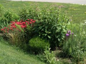 Part of a rain garden in Mayfield Village with Liaitris spicata, Eupatorium, Monarda;