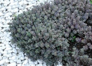 Sedum Sunsparkler 'Dazzleberry' foliage - photo from Monrovia