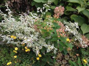 Caryopteris incana 'Snow Fairy', Dendrathema 'Sunny Igloo', Hypericum Hypearls™ Renu