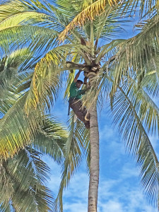 Worker in coconut palm