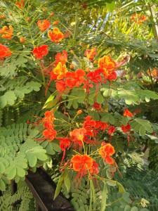 Caesalpinia pulcherrima orange